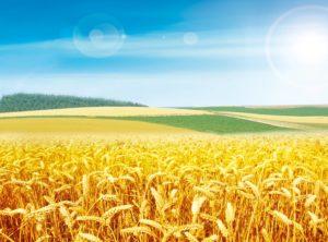 麦子在地里经受着烈日炙烤、生死磨炼,人也如此......